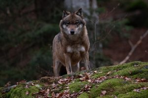 wolf, forest, nature